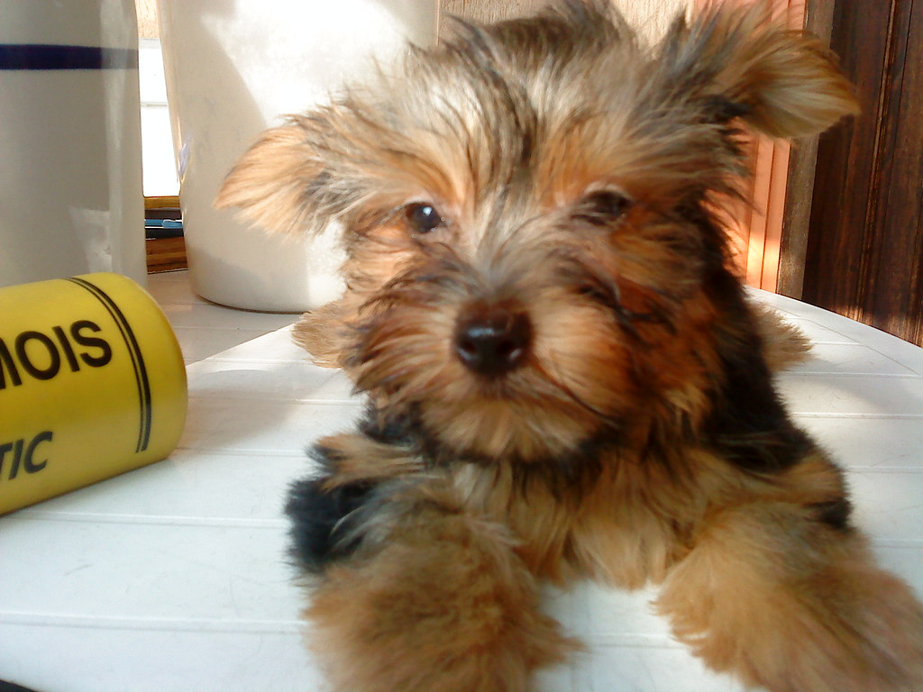 yorkie pups representation