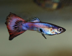 Gonopodium (Felicia McCaulley) Tags: pink aquarium guppy livebearer gonopodium