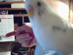 Birdy1-04_06 (Jewgirl952) Tags: memorial budgie parakeet