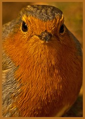 Robin Portrait. (anthonynixon17) Tags: blue portrait robin photography this photo saw you sensational ribbon another seen creations deserve a impressedbeauty hrefhttpwwwflickrcomgroupsblueribbonimg srchttpfarm1staticflickrcom192505040398842abfd9c2ojpgai ribbonba hrefhttpwwwflickrcomgroupsblueribbon altblueribbonphotographya vosplusbellesphotos hrefhttpwwwflickrcomgroupssensationalcreationspool excellencea