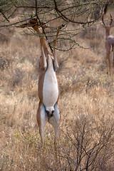 Lap Dance (Thomas Retterath) Tags: africa travel nature animals tiere wildlife urlaub natur safari afrika bovidae mammals samburu 2009 kenia herbivore gerenuk ostafrika sugetier pflanzenfresser litocraniuswalleri giraffeneckedantelope thomasretterath samburufive giraffenantilope wallersgazelle