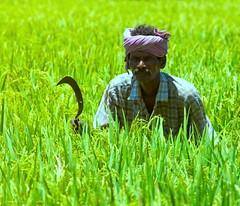 Beware of the Farmer : The Heart of India (Kausthub) Tags: portrait people india macro green field farmer dslr chennai ricefields 2009 photographyrocks efllens platinumphoto canoneos5dmarkii