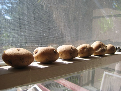 seed potatoes