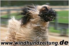 Afghanischer Windhund beim Rennbahn - Training