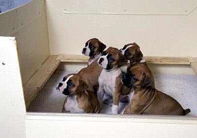 boxer pups2