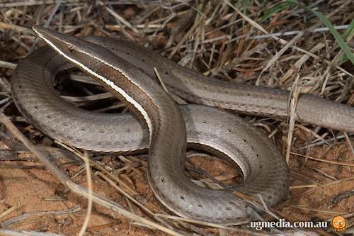 Burton's legless lizard (Lialis burtonis)