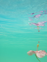 hibiscus float (*pixeleyes*) Tags: pink sea reflection water aqua underwater turquoise perspective hibiscus caribbean ripples float underwatergarden