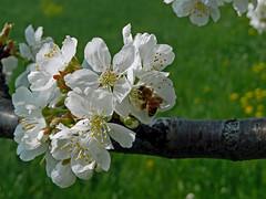 Bee Break (EleThinkTank) Tags: italy flower primavera cherry spring italia ape fiore prato insetto vicenza centrale ciliegio veneto polline zugliano