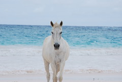 White Horse- on the Beach (ARKIES) Tags: desktop flowers sunset wallpaper sky horse tree beach island seaside slam nikon background picture palm frog tropical lone bahamas reef whitehorse seabird harbourisland