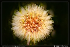 Feu d'artifice ... fireworks ... (Rached MILADI -  ) Tags: macro fleur plante flickr couleurs awesome vert 18 tableau paysage better printemps fz hdr tunisie pictureperfect  cologie  rached  anawesomeshot aplusphoto fz18 dmcfz18 miladi  mimamorflowers rachedmiladi