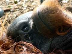 Sweet Pusung (PTroglodytes) Tags: zoo orangutan adelaide adelaidezoo pusung