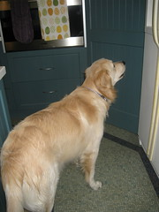 Bailey waiting for breakfast (served in the pantry)