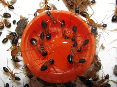 Camponotus nigriceps 07
