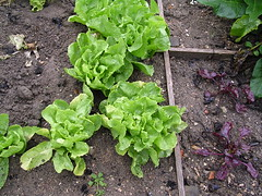 batavia (vorzinek) Tags: food france vegetables cuisine tours nourriture legumes gloriette herbes