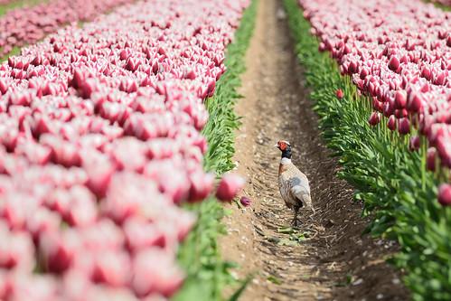 フリー写真素材, 動物, 鳥類, キジ科, 花畑, チューリップ, キジ,
