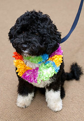 obama dog bo in colorful dressup (obama photos) Tags: bo barackobama michelleobama whitehousedog obamadogbo presidentobamasnewdogbo presidentialdog