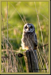 Asio flammeus - Short-eared Owl (Marc Nollet) Tags: blankenberge birdwatcher shortearedowl asioflammeus belgum uitkerksepolder bwg hiboudesmarais velduil thewonderfulworldofbirds