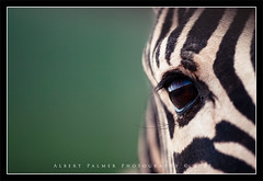 (Bert Palmer) Tags: family friends bw horse white holiday black reflection green eye animal hair fur mammal dof lashes bokeh smooth stripe safari event simplicity zebra simple lash stripy eys albertpalmer2008
