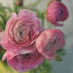 blushing (Three Peanuts) Tags: pink flowers texture pretty naturallight ranunculus pinktuesday thankyoushanarae