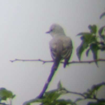 Scissortailed Flycatcher 2