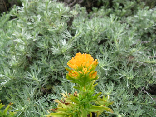 Castilleja occidentalis? with Artemisia californica?