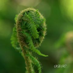 Awakening (♥ B i b b i ♥) Tags: fern green canon sweden stockholm bokeh frond sverige södertälje 2007 30d grön ormbunke ggt canon30d sigma1770mmf2845dcmacro cmwd cmwdgreen hggt gorgeousgreenthursday ormbunksblad