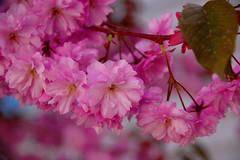 Blossoming tree4 (AnneCN) Tags: flowers nature norway botanical stavanger spring blossom natur blomst blomster floer