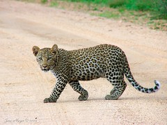 Young leopard (Arno Meintjes Wildlife) Tags: africa park camp wallpaper nature animal southafrica mammal bush wildlife safari explore leopard bigcat mammals rsa krugernationalpark carnivore kruger big5 pantherapardus blueribbonwinner parkstock supershot interestingness136 i500 specanimal abigfave luiperd arnomeintjes flickrlovers vosplusbellesphotos