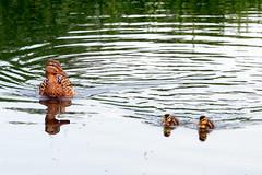(wistine) Tags: duck ducks enten ente kken babyduck entlein