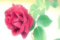Rose (ponte1112) Tags: red flower green rot rose rouge schweiz nikon che zrich blume uster nikkor70300mm capturenx d5000