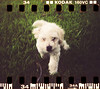 Little[er] Dinky (Graustark) Tags: dog white film 35mm holga texas houston kodakportra160vc dinky sprocketholes ratapoo ratterrierpoodlemix