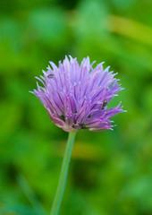 Egyptian Garlic DSC_0065 (Vickye1981) Tags: southwest gardens nikon walk somerset nationaltrust broomfield d90 nikond90 fynecourt