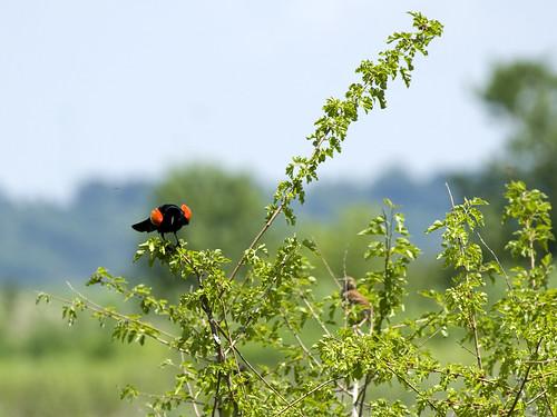 Red-wingedBlackbirdBrownThrasherEmiquon05292009JGWardIMG_2582