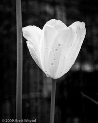 Tulip_with_drops