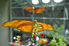 Butterfly (Chimay Bleue) Tags: rainforest piano bubble renzo academyofsciences