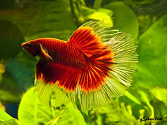 Red Rum ( Half Moon Betta ) ! (q8phantom) Tags: moon fish playing ball toy aquarium play tank siamese half kuwait betta halfmoon figher