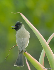 Black-eyed Bulbul (Tiptol) (Martin_Heigan) Tags: camera winter flower bird nature digital southafrica happy succulent aloe nikon chat dof martin bokeh song talk photograph sing d200 dslr chatter chirp blackeyed bulbul suidafrika pycnonotus barbatus sigma170500apo nikonstunninggallery heigan tiptol aalwyn wsnbg wh200 mhsetbirds mhsetbokeh wimberleyheadversionii 7june2009