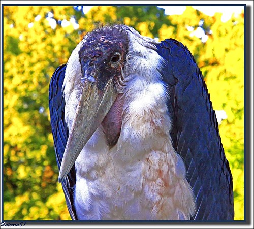 (938) Am I wonderful?...../ Marabu / Marabou Stork