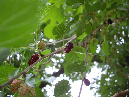 Mulberries 6/18/09