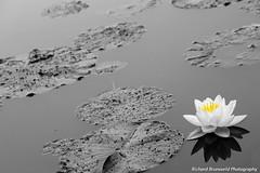 (richardbrunsveld.nl) Tags: park white black flower color colour slr water netherlands photoshop canon photography eos is arnhem adobe efs selective sonsbeek dlsr cs3 sonsbeekpark 55250 1000d