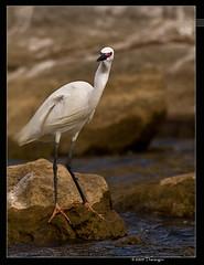 Egret (Tharangini) Tags: award waterbird egret ranganthittu tharangini canon40d ashowoff