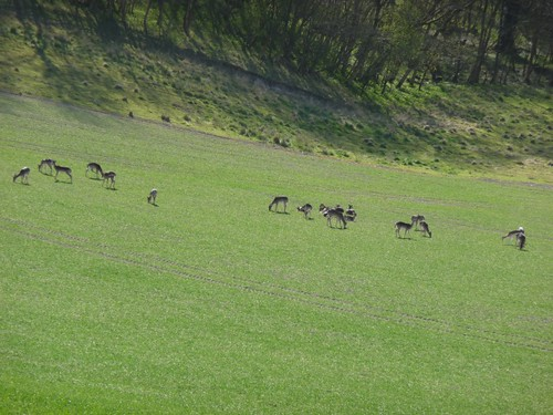 small-south-downs-deer2