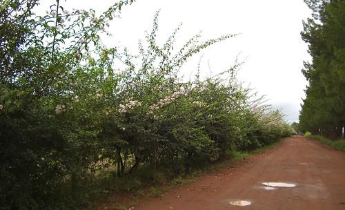 Daterra Flowering