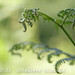 Curly Ferns