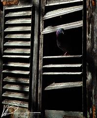 Peeping Out (kris.damato) Tags: bird broken window dark pigeon malta shutter perch valletta homing aplusphoto flickristiurbandetails