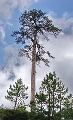 Pine Tree Valia Calda (Zopidis Lefteris) Tags: hellas greece macedonia allrightsreserved heliograph lefteris eleftherios ελλάδα heliography zop φωτογραφία zopidis zopidislefteris eleutherios leyteris salonicagroup ελλάσ μακεδονία ζωπίδησ ελευθέριοσ λευτέρησ ζωπίδησλευτέρησ φωτογραφίεσ eleytherios λεφτέρησ ηλιογραφία heliograpygroup γκρούπηλιογραφία ζοπ ζωπ photographerczopidislefteris φωτογράφοσcζωπίδησλευτέρησ heliographygroup heliographygroupmember photographerzopidislefteris φωτογράφοσζωπίδησλευτέρησ photographerzopidislefterisc φωτογράφοσζωπίδησλευτέρησc λευθέρησ allphotosarecopyrightedbyzopidislefteris φωτογραφοσζωπιδησλευτερησ τοcopyrightολωντωνφωτογραφιωνανηκειστονζωπιδηλευτερη απαγορευεταιηχρησητωνφωτογραφιωνχωριστηναδειατουδημιουργου