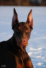 Campary (Liisaz88) Tags: portrait dog brown cute beautiful model estonia princess good land dobermann dobbie flox campary legrant