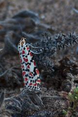 Utetheisa pulchella (sjdavies1969) Tags: geotagged spain insects canarias location lepidoptera moths soo geo esp insecta utetheisapulchella lasladeras geo:lat=2907949905 geo:lon=1358906975