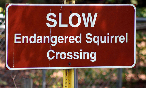 Endangered Squirrel crossing