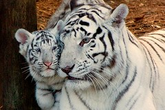 Tiger cub with mother (Evan Animals) Tags: baby tampa zoo cub florida mother whitetiger lowryparkzoo 2709
